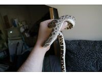 Female Western Hog Nose Snake, 8.5 years old, inc viv & accessories
