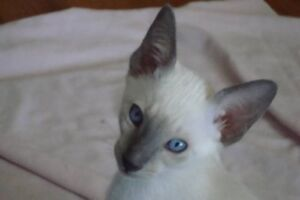 ONLY 1 CLASSIC BLUE POINT SIAMESE KITTEN LEFT Cambridge Kitchener Area image 1