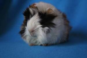 BABY GUINEA PIGS Winthrop Melville Area Preview