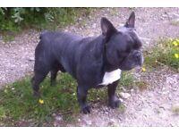 Blue French bulldog male