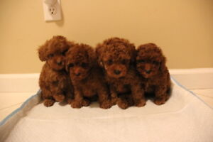 Four Poodle puppies are looking for a new home