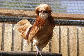 Chamois poland bantam chicken cockerel, 6 months old