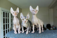 gorgeous sphynx kittens