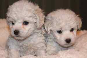 BIchon Frise Puppies! Home Raised. Males  Available! Kitchener / Waterloo Kitchener Area image 2