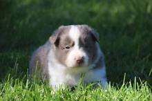 Border Collie Puppies with papers - Pedigree Registered Crookwell Upper Lachlan Preview