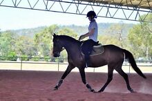 Quarter X riding pony Orange Grove Gosnells Area Preview