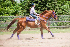 TB gelding for part lease (not for sale)