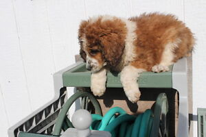 Saint Berdoodle puppies ready for adoption!