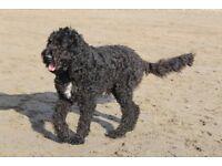 Springerdoodle dog