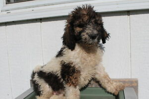 Saint Berdoodle puppies ready for adoption! Kitchener / Waterloo Kitchener Area image 7