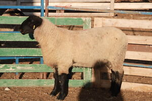Sheep Registered Suffolk Rams