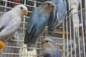 Exceptional Lovebirds