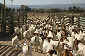 looking to downsize my milking goat herd