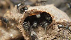 NATIVE BEE HIVE RESCUE!!!!! Brisbane City Brisbane North West Preview