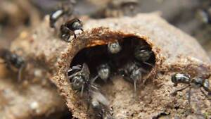Rescue and Relocation of Native Bees! Bundall Gold Coast City Preview