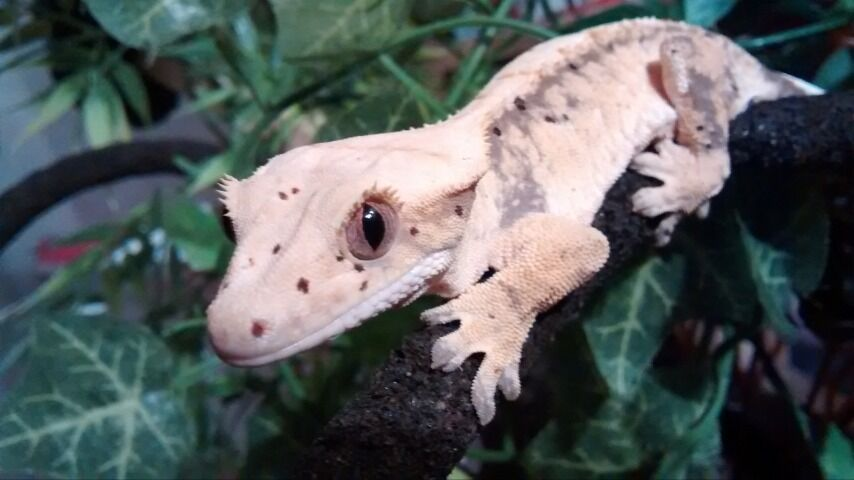 Female Crested Gecko with Full Set Up