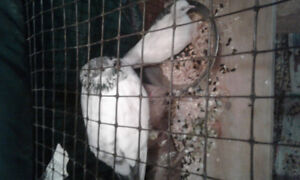 HIGH FLYER PIGEON and DOVE need new home...moving...help!