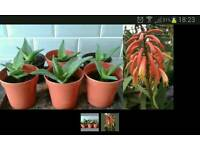 Aloe vera plants.