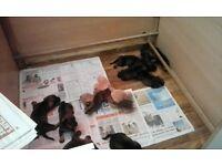 Standard Wire Haired Dachshund puppies