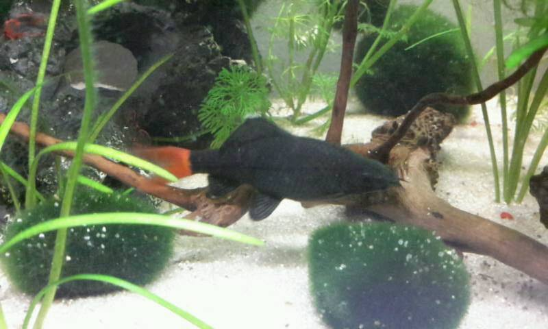 ** FIRETAIL** ** RED TAILED BLACK SHARK **