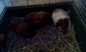 GPS (Guinea Pig Sanctuary) has a trio of sisters ready to adopt!