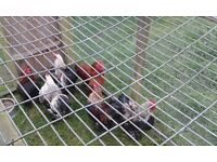 6 Pekin Roosters Free