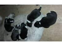 Akita pups for sale