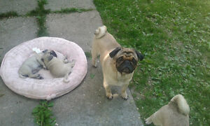 Purebred Male Pug 4 years old so very loving and affectionate