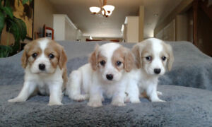 GORGEOUS COCKER SPANIELS --2 Girls and  Boy 1 left....