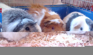 GPS (Guinea Pig Sanctuary): offering Boarding & Grooming service