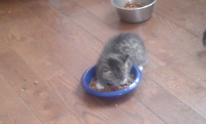 3 female kittens littered trained and great with children