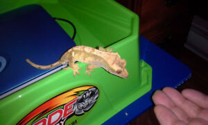 Crested Gecko with Terrarium and Accessories