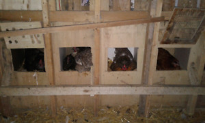 Easter Egger hens for sale
