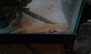 1 male and 1 female leopard geckos