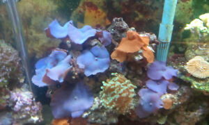 Salt Water Corals for sale by owner
