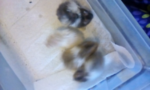 Baby hamsters for sale for $10 each obo