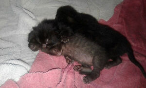 Beautiful black kittens for free
