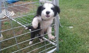 Border Collie Male Pup Windella Maitland Area Preview