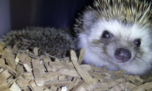 Sweet young female hedgehog healthy and awaits great Re-Homeust