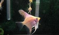 Bébés poissons ange koï (scalaire)