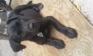 ÏGreat Dane x Puppies