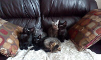 Kittens Free to a Good Home. 8 Weeks Old