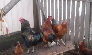 Young Roosters