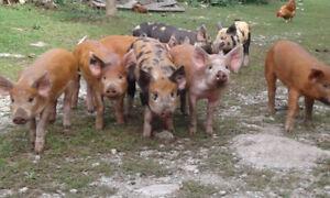 Wiener pigs Tamworth Cross for sale