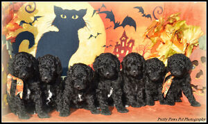 SPOOKTACULAR Registered Moyen (small standard) Poodle puppies