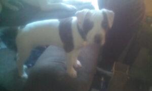 Purebred American bulldog male puppy