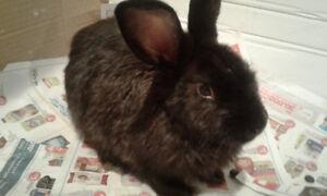 BUNNY RABBIT-male, 4 months old, dark fur, friendly/cute/cuddly