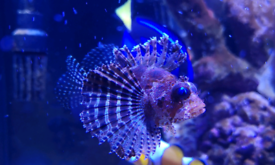 Fuzzy dwarf lionfish for marine fish tank sell / swap corals
