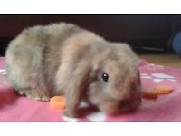 Baby Doe mini lop rabbits - ready to go - NOW ALL SOLD