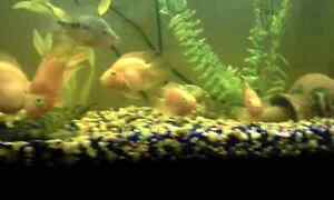 3 blood red parrot fish 60$$$$